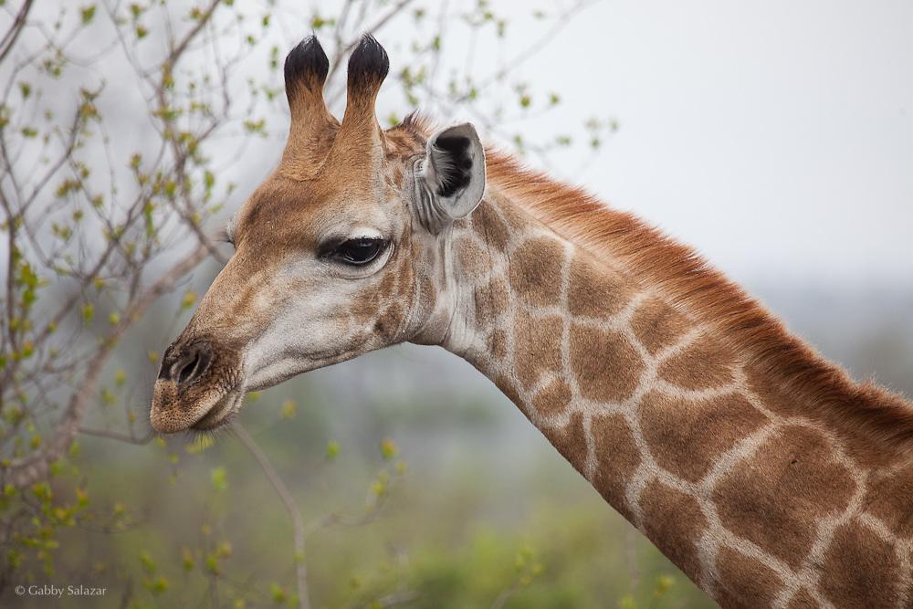 Giraffe; Kruger National Park, Limpopo Province, South Africa. Organization for Tropical Studies Trip 2009.