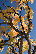 Vertical of fall cottonwood at Los Luceros, Rio Arriba County, New Mexico<br />