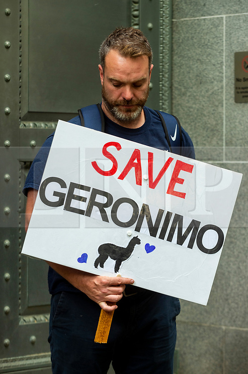 © Licensed to London News Pictures. 09/08/2021. LONDON, UK. A protester outside the Department for Environment, Food and Rural Affairs (DEFRA) campaigning to save the life Geronimo the alpaca after Environment Secretary George Eustice defended a controversial decision to put down the animal that has twice tested positive for bovine tuberculosis.  Geronimo's owner, veterinary nurse Helen Macdonald, who breeds alpacas at her farm in Wickwar, south Gloucestershire, claims the tests used were inaccurate and wants Geronimo to receive a more accurate Actiphage test.  Photo credit: Stephen Chung/LNP