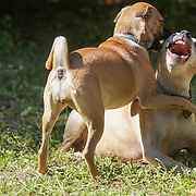 Stock images of dogs playing in a sunlit backyard.