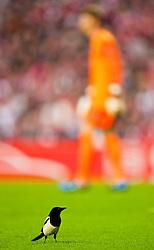 29.04.2010, Anfield, Liverpool, ENG, UEFA EL, Liverpool FC vs Atletico Madrid im Bild ein Vogel während des Spiels am Feld, EXPA Pictures © 2010, PhotoCredit: EXPA/ Propaganda/ D. Rawcliffe