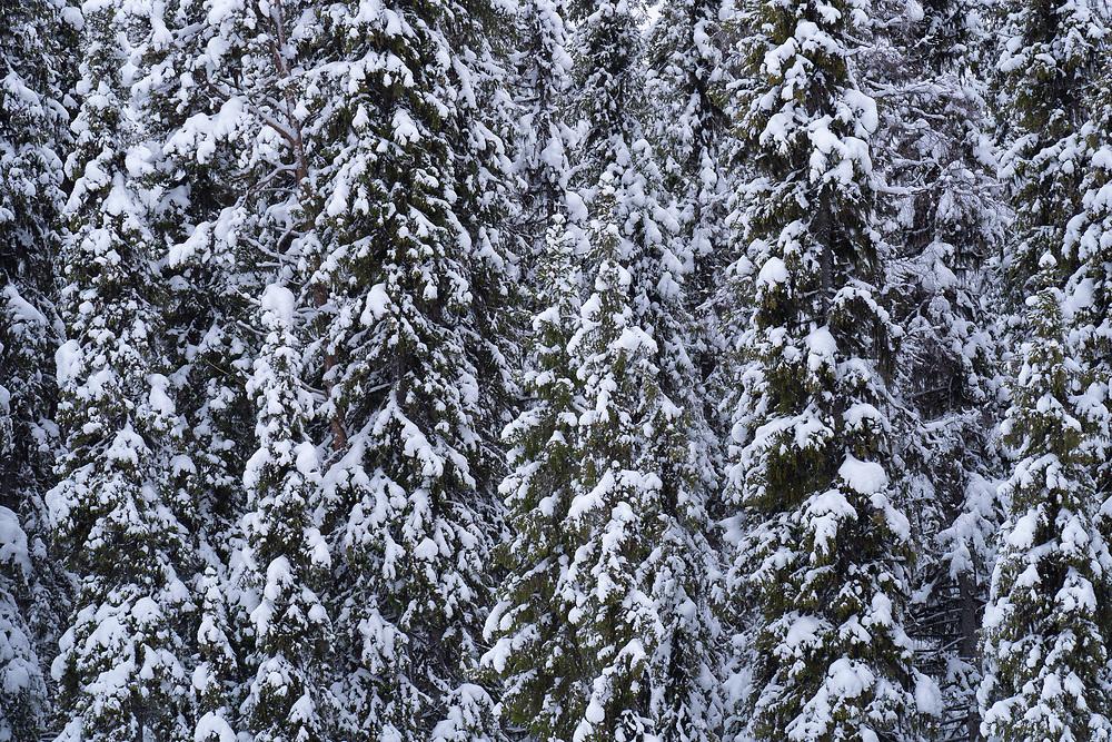 Scots Pines, Pinus silvestris and Norway spruce, Picea abies, Maskaure, Arvidsjaur, Norrbotten, Sápmi, Lapland, Sweden