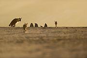 Brown hyena (Parahyaena brunnea oder Hyaena brunnea) peeing, Tsau-ǁKhaeb-(Sperrgebiet)-Nationalpark, Namibia | Schabrackenhyäne (Parahyaena brunnea oder Hyaena brunnea) auf Nahrungssuche in der Baker's Bay, Sperrgebiet National Park, Namibia