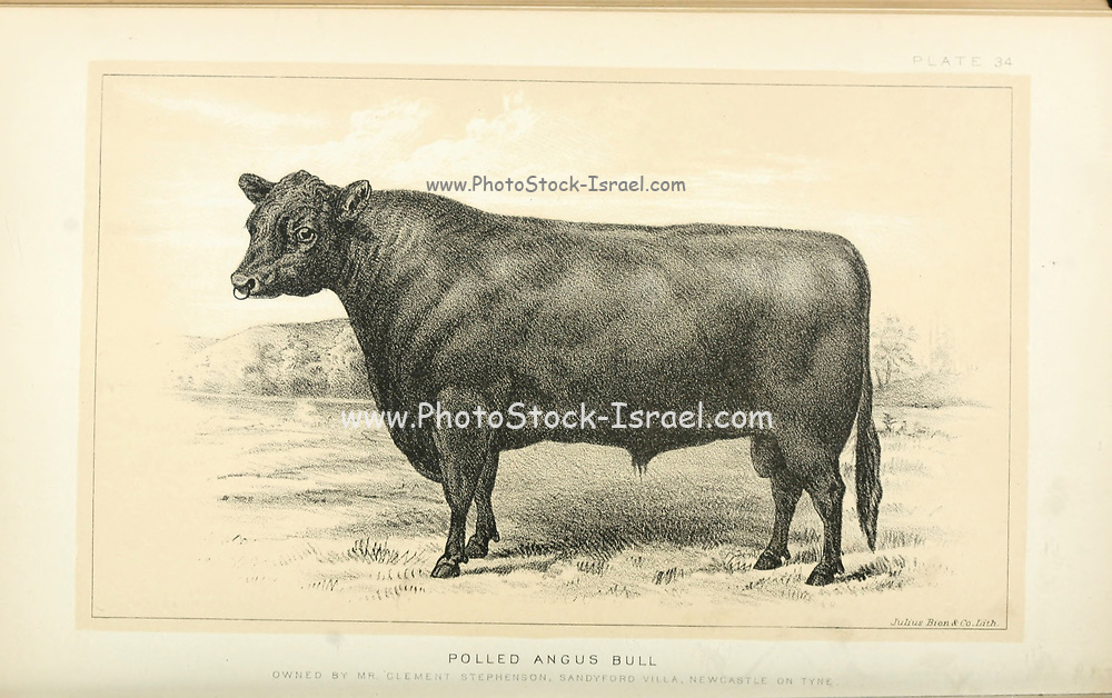 Polled Angus hornless breed from Cattle and dairy farming. Published 1887 by Govt. Print. Off. in Washington. United States. Bureau of Foreign Commerce (1854-1903)