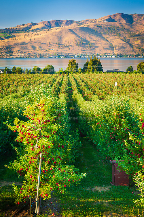Apple orchard in Chelan in eastern Washington state, along the shore of Lake Chelan