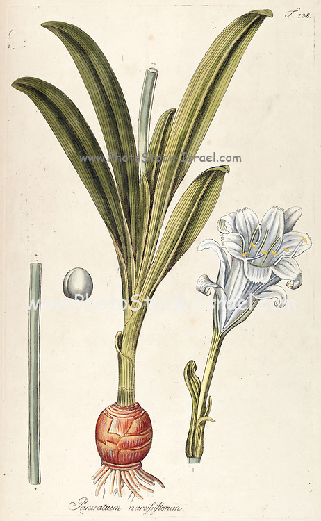 Hand painted botanical study of a Pancratium narcissiflorum flower anatomy from Fragmenta Botanica by Nikolaus Joseph Freiherr von Jacquin or Baron Nikolaus von Jacquin (printed in Vienna in 1809)