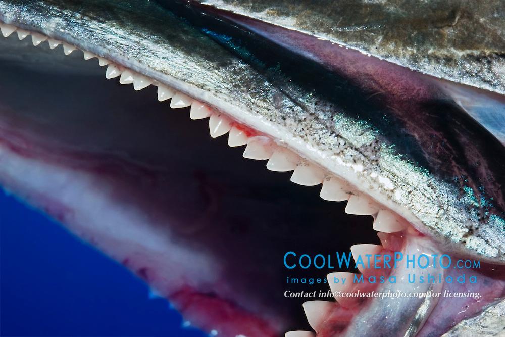 Jaw of a Wahoo, Pacific Kingfish or Ono in Hawaiian, Acanthocybium solandri, showing rows of sharp serrated teeth, off Kona Coast, Big Island, Hawaii, Pacific Ocean.
