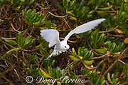 white tern or fairy tern, Gygis alba rothschildi, with a juvenile flying fish in its beak, Sand Island, Midway, Atoll, Midway Atoll National Wildlife Refuge, Papahanaumokuakea Marine National Monument, Northwest Hawaiian Islands, USA ( Central North Pacific Ocean )