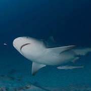 A pregnant bull shark prowles for food off Playa Del Carmen, Mexico Bull sharks, Carcharhinus leucas, off Playa Del Carmen, Mexico.