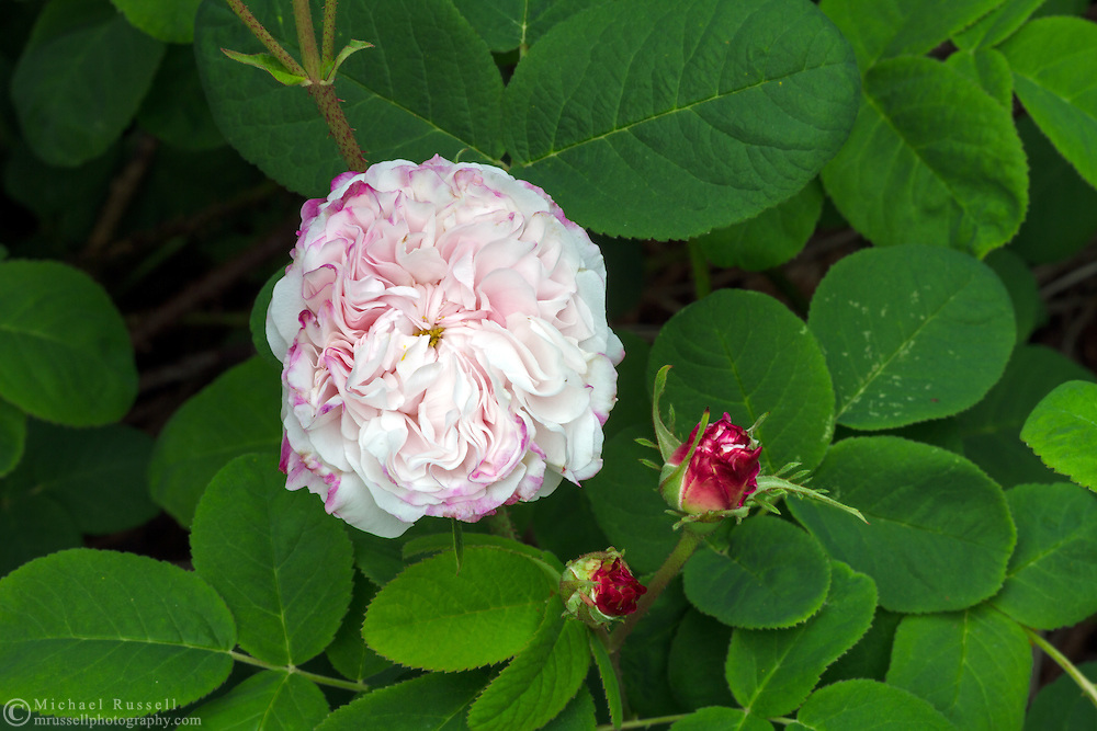 Rosa 'Leda' - and Old Garden Rose blooming