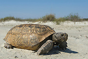 Gopher Tortoise (Gopherus polyphemus)<br /> The Orianne Indigo Snake Preserve<br /> Telfair County. Georgia<br /> USA<br /> Threatened species in Georgia<br /> HABITAT & RANGE: Longleaf pine & oak forests & sandhills & areas of good ground cover. Southeast USA