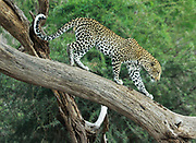 Leopard (Panthera pardus) prowling on a tree. Photographed at Serengeti National Park, Tanzania