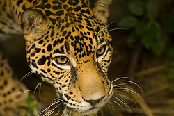 Jaguar (Panthera onca), Belize Zoo, Belize, Central America