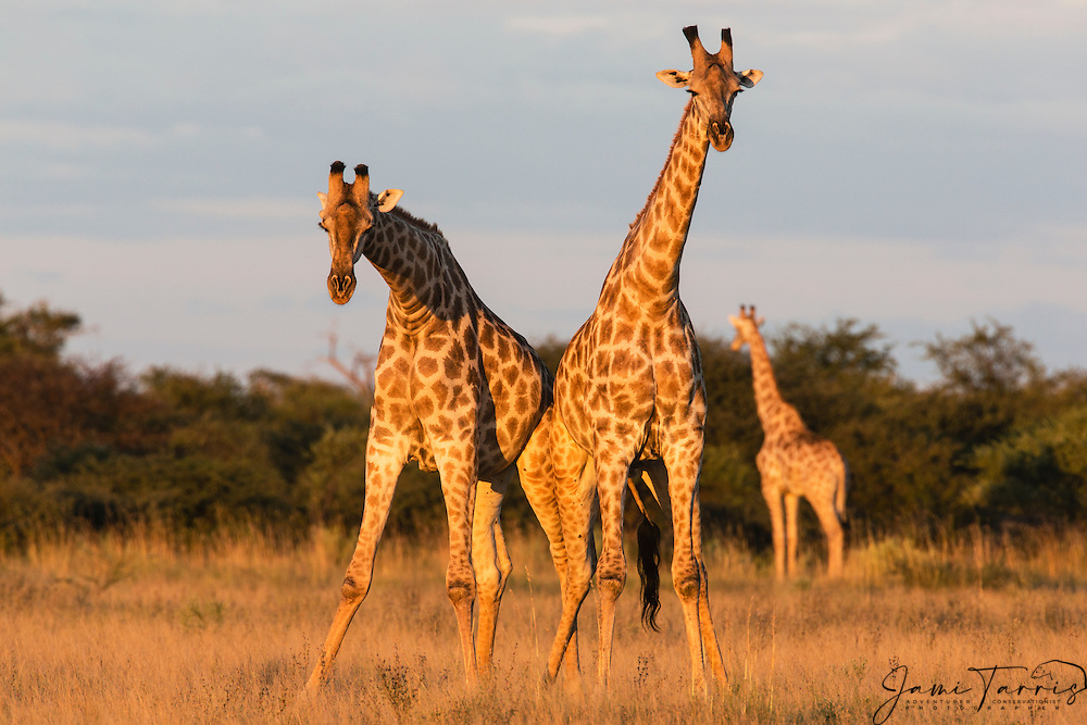 A pair of southern giraffe (giraffa camelopardalis) standing close together and looking in the same direction, Kalahari, Botswana, Africa