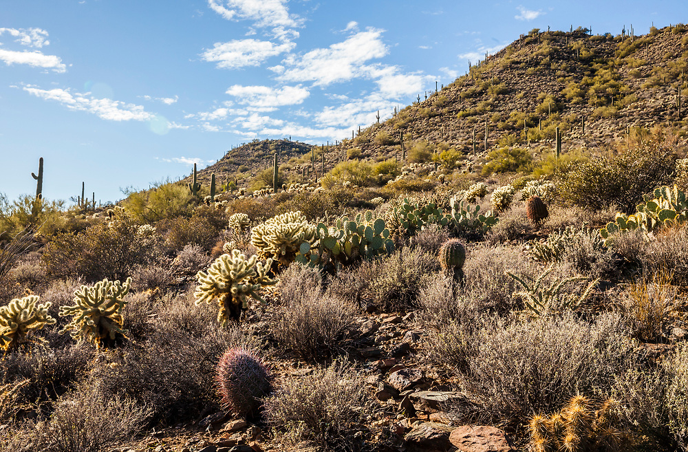 Saguaro cacti in the Apache Wash area of the North Phoenix Sonoran Desert Preserve on a sunny blue sky day, Arizona, USA.