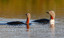 Red Throated Diver in the late evening sunlight on a lochan in the Isle of Lewis. Red Throated Divers breed around shallow pools (lochans) on upland moors and bogs........ (c) Stephen Lawson | Edinburgh Elite media