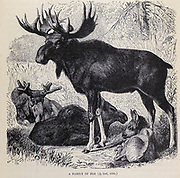 A family of Elk The moose (in North America) or elk (in Eurasia) (Alces alces), is a member of the New World deer subfamily and is the largest and heaviest extant species in the deer family. From the book ' Royal Natural History ' Volume 2 Edited by Richard Lydekker, Published in London by Frederick Warne & Co in 1893-1894