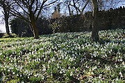 Snowdrops on forest floor in Oxfordshire woodland, England, United Kingdom