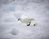 Snowy Sheathbill on snow at the Argentine Brown Scientific Station in Antarctica. Image taken with a Leica T camera and 18-56 mm lens (ISO 100, 56 mm, f/16, 1/500 sec).