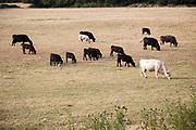 Cattle graze in hillside evening light, Cherhill,  Wiltshire, England, UK
