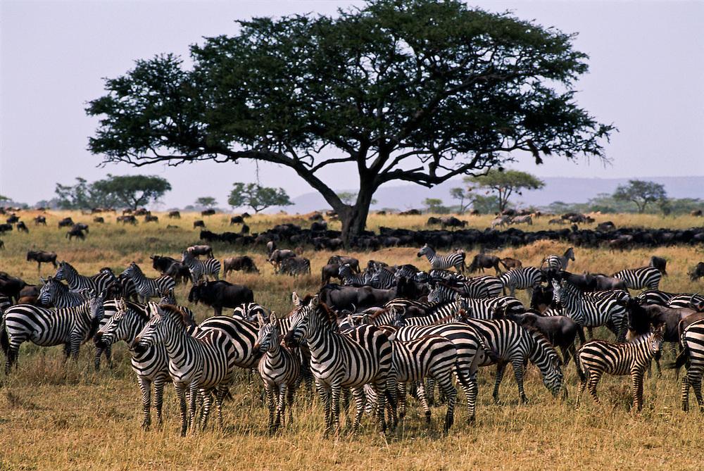 A herd of zebras roaming the grassland.