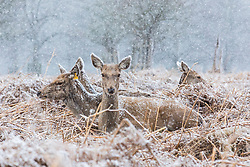 © Licensed to London News Pictures. 17/03/2018. London, UK. Deer in Bushy Park brace further cold weather as more snow falls over London. Photo credit: Rob Pinney/LNP