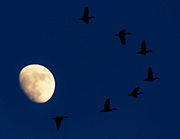 Flying snow geese silhouetted by the moon, Fowler Beach, Milford, Delaware.