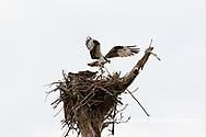 00783-01805 Osprey (Pandion haliaetus) in flight to nest with food Cruickshank Sanctuary - Brevard County, FL