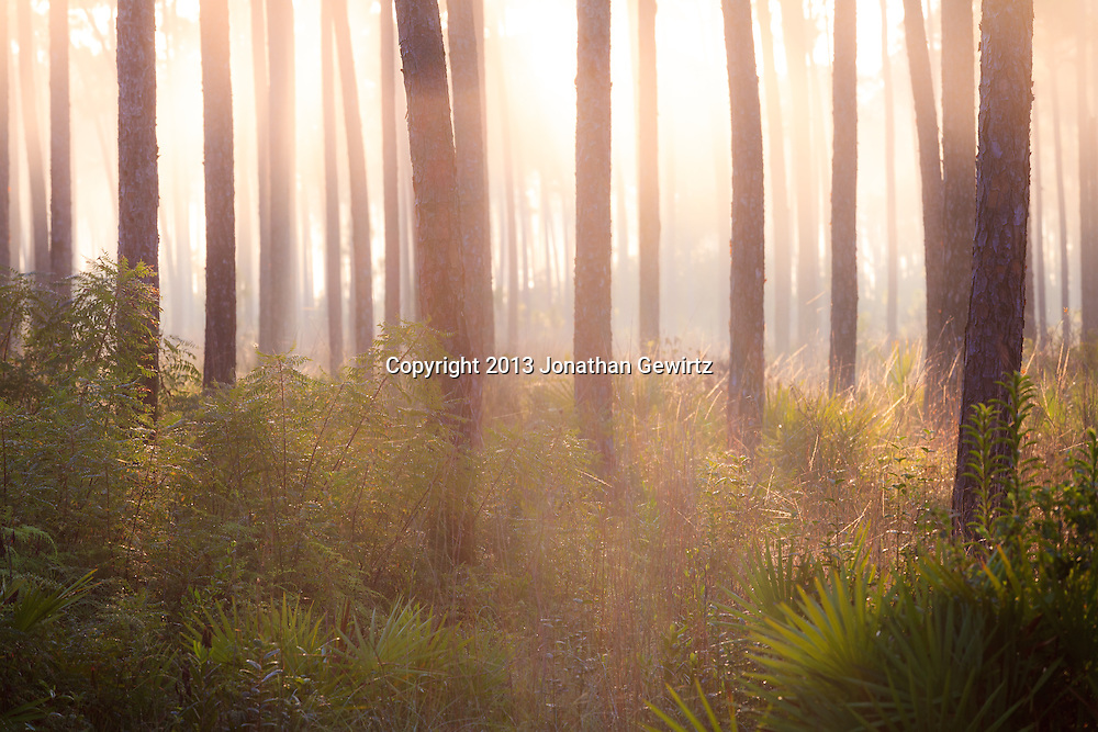 Morning fog in the pine forest at Long Pine Key in Everglades National Park, Florida. WATERMARKS WILL NOT APPEAR ON PRINTS OR LICENSED IMAGES.<br /> <br /> Licensing: https://tandemstock.com/assets/43762600