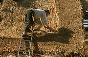 Layering water reed on to the roof of a Suffolk cottage, a traditional thatcher works in afternoon sun. Balancing across the width of the roof's surface, the man uses a Shearing Hook to lay the straw into the outer weathering coat of the roof's slope. Using techniques developed over thousands of years, good thatch will not require frequent maintenance. In England a ridge will normally last 10–15 years. Thatching is the craft of building a roof with dry vegetation such as straw, water reed, sedge (Cladium mariscus), rushes and heather, layering the vegetation so as to shed water away from the inner roof. It is a very old roofing method and has been used in both tropical and temperate climates. Thatch is still the choice of affluent people who desire a rustic look for their home or who have purchased an originally thatched abode.