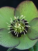 Helleborus x hybridus - hellebore