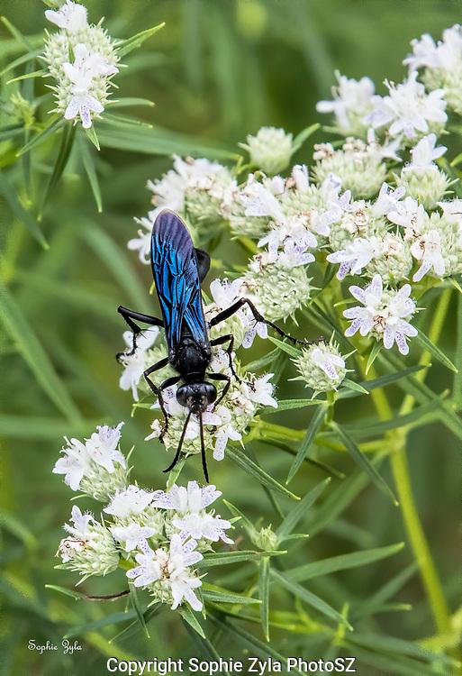 Great Black Digger Wasp Blue Wings