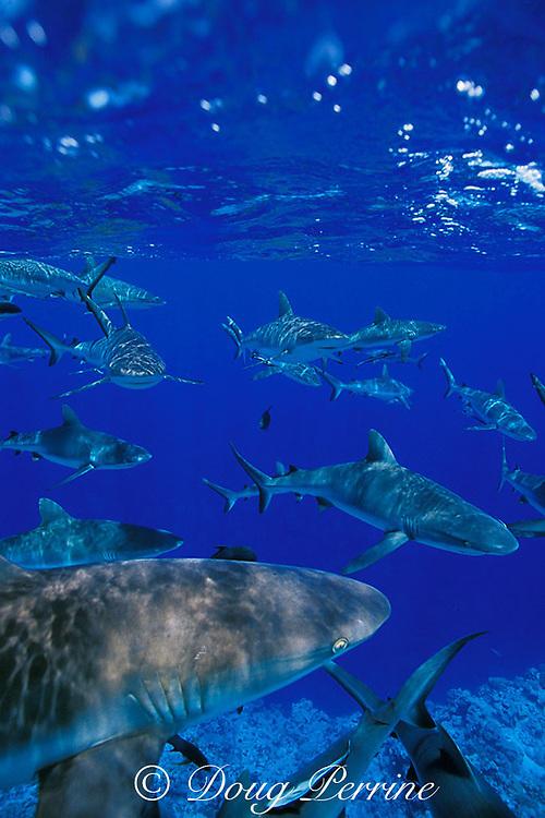 gray reef sharks, Carcharhinus amblyrhynchos, Bikini Atoll, Marshall Islands, Micronesia ( Central Pacific Ocean )