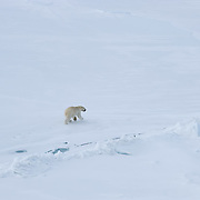 Polar Bear (Ursus maritimus) a lone bear on the sea ice of the Beaufort Sea, Alaska