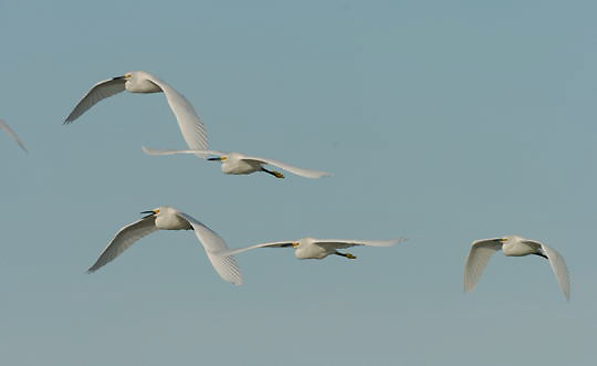 Snowy Egret (Egretta thula) Flock returning to rookery for evening. In flight. Near Boca Grande, Florida.