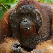 A large male orangutan (Pongo pygmaeus) feeding on sugarcane at a feeding station in Tanjung Puting National Park. Central Kalimantan region, Borneo.