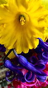 Spring Flowers, daffodils and hyacinth, Reading, PA