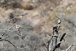 Gambel's quail in brush, Ladder Ranch, west of Truth or Consequences, New Mexico, USA.