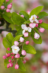 Malus x robusta 'Red Sentinel' - Crab apple in blossom