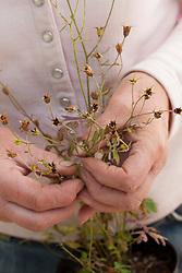 Collecting seeds from Semiaquilegia ecalcarata