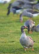 Greylag Goose, Swinbrook, Oxfordshire, UK. Free-range birds may be at risk if Avian Flu  bird flu virus spreads.