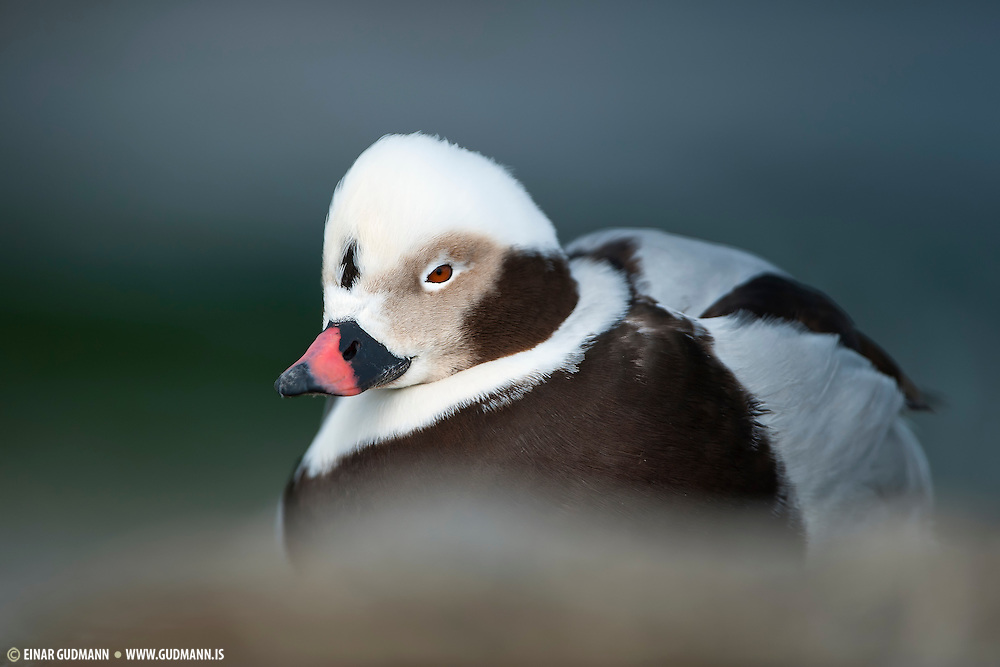 Male Long-tailed Duck (Clangula hyemalis).This image is taken in Árskógssandur in Iceland.