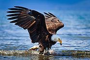 Eagle - Glacier Bay