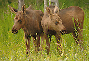 Twin moose calves wander in the tall grass near Anchorage, Alaska.