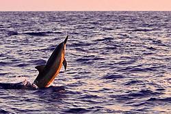 Hawaiian spinner dolphin, Stenella longirostris, jumping at sunset, Kona, Big Island, Hawaii, USA, Pacific Ocean