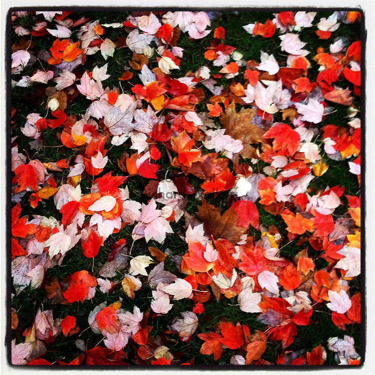 2014 November 03 - Autumn leaves, Seattle, WA, USA. Taken/edited with Instagram App for iPhone. By Richard Walker