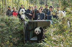 """Scientist M. Sanjayan films at the Wolong Panda Reserve managed by the China Conservation and Research Center for the Giant Panda in Sichuan, China. For the first time in 50 years since the WWF adopted the panda as the symbol of wildlife conservation, the loss of one of the world's most iconic species is being reversed. Their habitat is being restored, and every year from now on, more captive pandas will be """"trained"""" to be wild and then released.<br /> <br /> The accomplishment is extraordinary—first the Chinese have had to solve the famous problem of getting Pandas to mate. Then, they've had to take an animal that has lost its wild instincts, and re-train it to survive in the harsh Sichuan mountain cloud forests. It's taken Chinese researchers over 30 years to solve these problems.<br /> <br /> Many of us have ceased to think of the panda as a """"wild"""" creature. It's more of a cartoon animal that lives in zoos.  But watching Zhang Xiang, the first female panda to be released into the wild, you realize that she may be the most famous panda that no one—save a handful of scientists-- will ever see."""