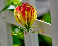 Flame (fire) Lily flower. Image taken with a Fuji X-H1 camera and 200 mm f/2 OIS lens + 1.4 x teleconverter