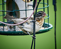 Female Rose-breasted Grosbeak. Image taken with a Nikon D5 camera and 600 mm f/4 VR lens (ISO 1600, 600 mm, f/4, 1/1250 sec).