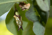 White admiral (Limenitis camilla) pupa suspended from honeysuckle (Lonicera periclymenum). Day 23 (AM). Sussex, UK.
